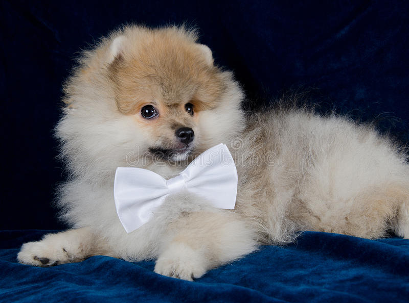 Cute Pomeranian puppy. Wearing a white bow tie (on a bright blue background royalty free stock photography
