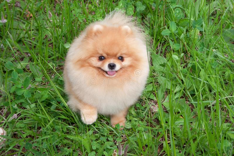 Cute pomeranian spitz puppy is looking at the camera. Zwergspitz or deutscher spitz. Pet animals royalty free stock image