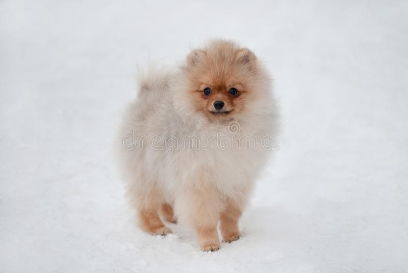 Cute Pomeranian spiz puppy on snow stock photo