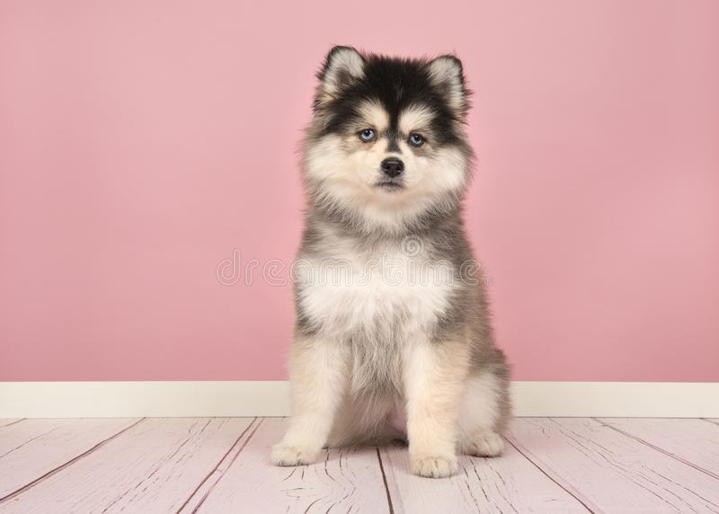 Cute Pomsky Puppy Sitting In A Pink Living Room Stock Image - Image ...