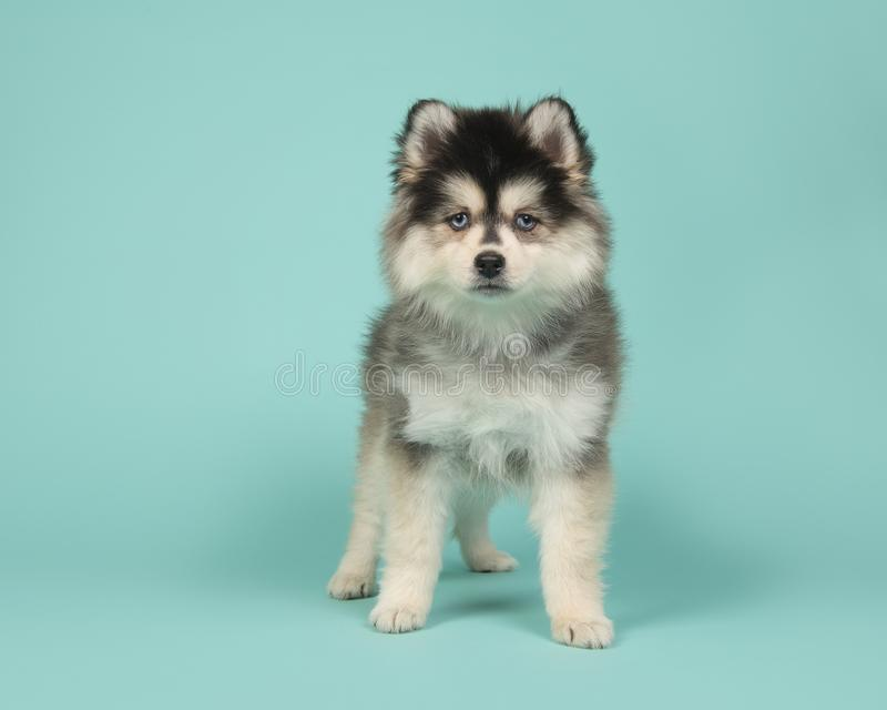 Cute pomsky puppy standing on a turquoise blue background royalty free stock photography