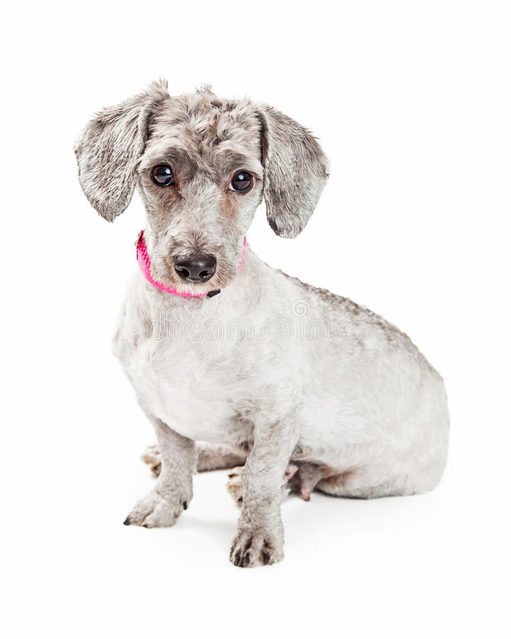 Cute Poodle and Dachshund Crossbreed Dog royalty free stock photography