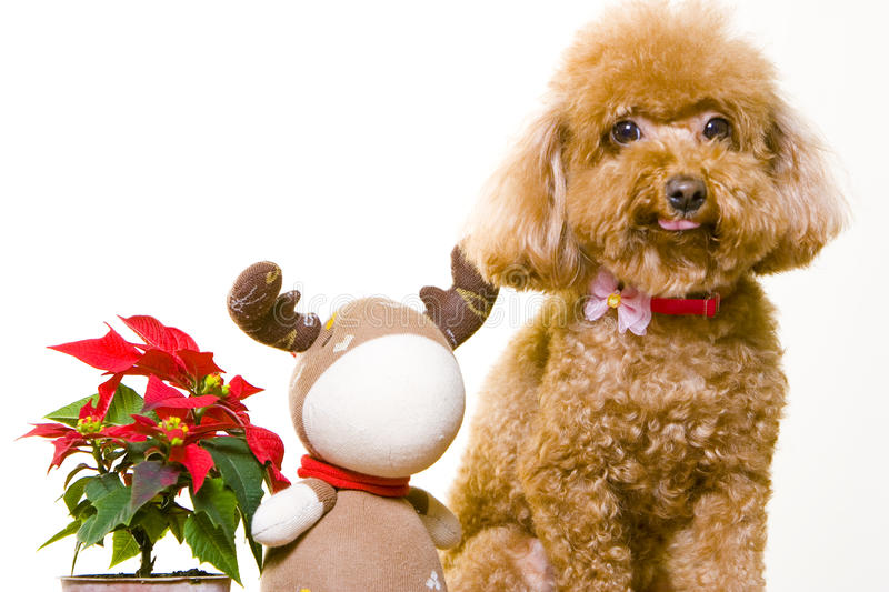Cute poodle dog royalty free stock images