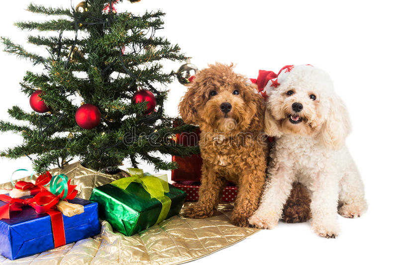 Cute poodle puppies in Santa hat with Chrismas tree and gifts. royalty free stock photos