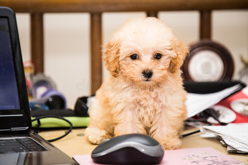 Cute poodle puppy dog sitting on a messy office desk next to a laptop computer and mouse stock photos