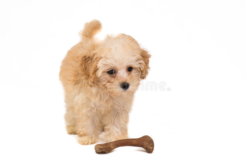 Cute Poodle puppy with her toy bone royalty free stock image