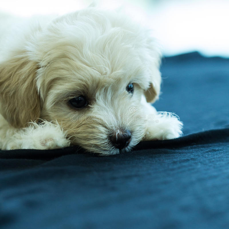 Cute Poodle Puppy stock images