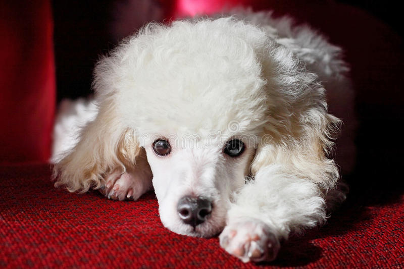 Cute poodle relaxing. Cute poodle puppy relaxing indoors stock images
