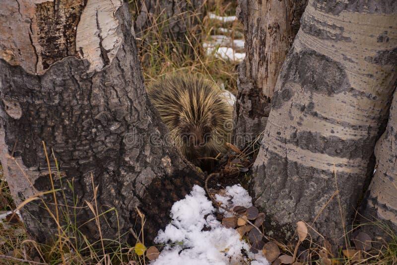 Cute Porcupine In California Park, Colorado stock photography