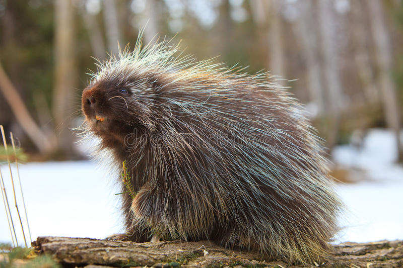 Cute porcupine snacking one fir branch. Cute porcupine snaking one fir branch in mountains royalty free stock photography