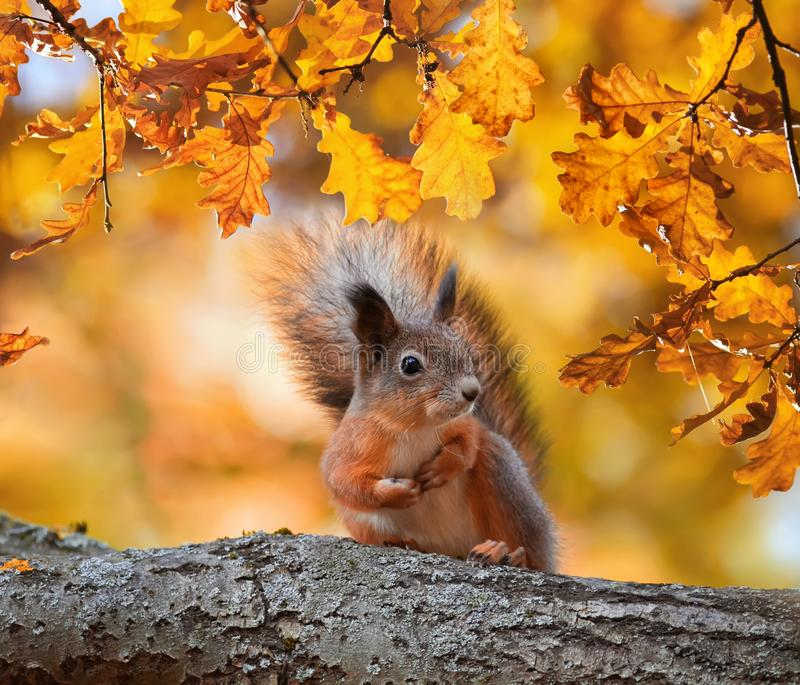 Cute portrait with beautiful fluffy red squirrel sitting in autumn Park on a tree oak with bright Golden foliage. Portrait with beautiful fluffy red squirrel royalty free stock photo