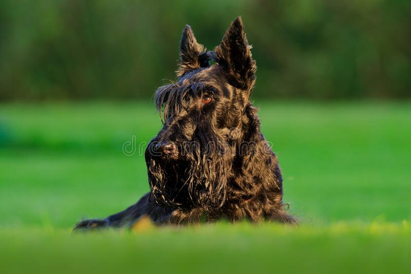 Cute portrait of black Scottish Terrier Dog. Evening light with terrier in green grass. Sunset in the garden. Black dog in the. Nature habitat stock image