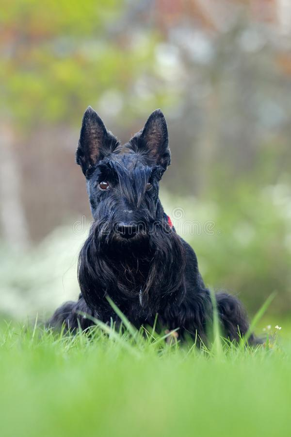 Cute portrait of black Scottish Terrier Dog Evening light with terrier in yellow grass. Sunset in the garden. Wildlife royalty free stock images