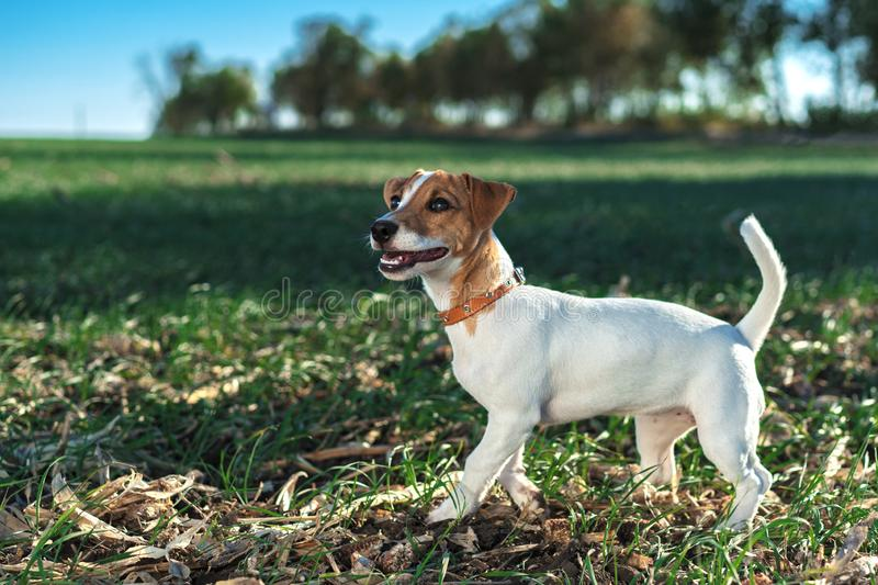Cute portrait of a dog puppy breed jack russell terrier in the collar, plays on a green meadow against a blue sky background stock images