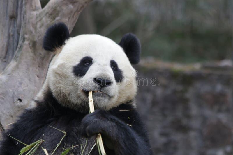 Close up Giant Panda Eats bamboo. Cute Pose of Giant Panda while Eating Bamboo stock photos