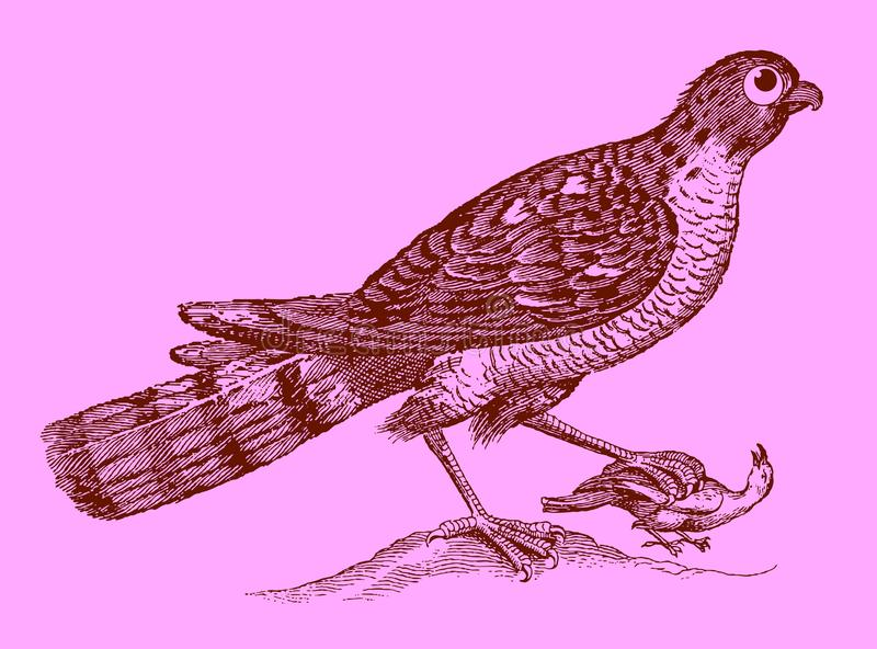 Cute predator: eurasian sparrowhawk holding a captured bird in the claw. Illustration after a historic woodcut engraving from the 17th century. Easy editable royalty free illustration