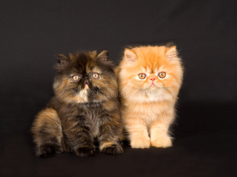 Cute pretty Persian kittens on black stock photography