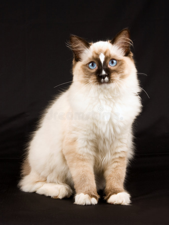 Cute pretty Ragdoll kitten on black background stock images
