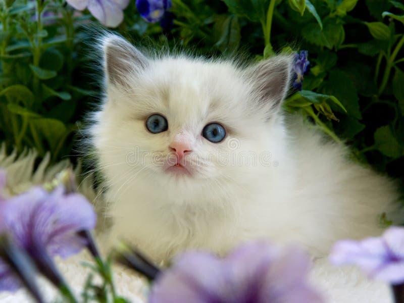 Cute pretty Ragdoll kitten with petunias stock photography