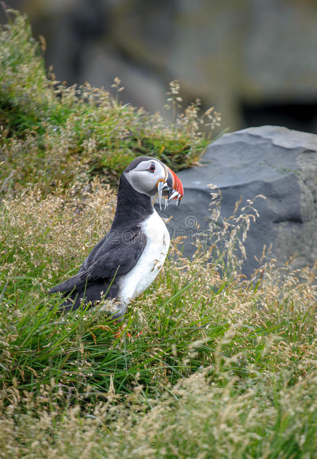 Download Cute puffin with his catch stock photo. Image of coast - 32446990