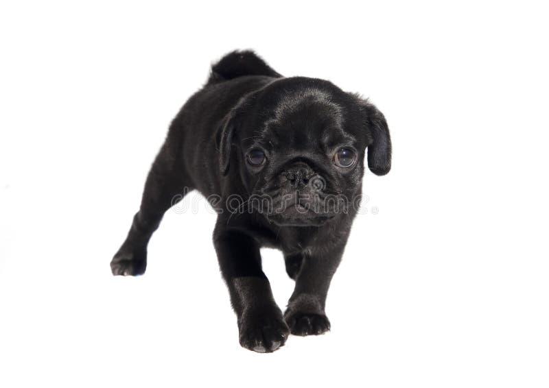 Cute Pug Stock Photo