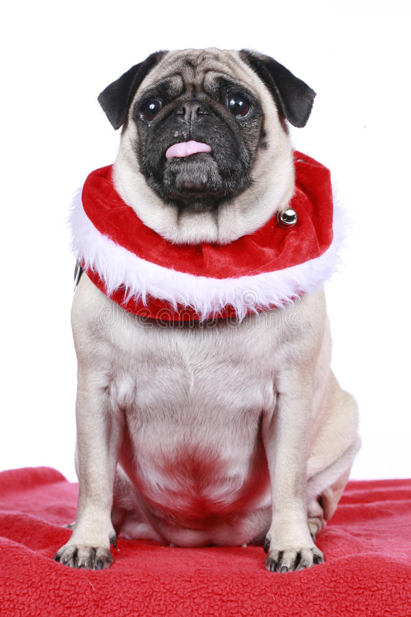Cute pug with christmas collar royalty free stock image