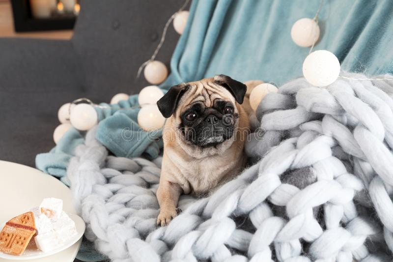 Cute pug dog with blankets on sofa. At home. Warm and cozy winter royalty free stock photography
