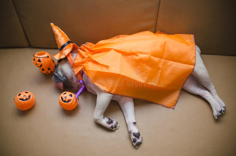 Cute pug dog with costume of happy halloween day sleep lay down on sofa with plastic pumpkin Jack O'Lantern. (Vignette effect) Cute pug dog with costume of happy stock image
