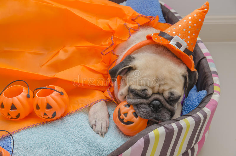 Cute pug dog with costume of happy halloween day sleep rest lay down on bed. With plastic pumpkin Jack O'Lantern stock images