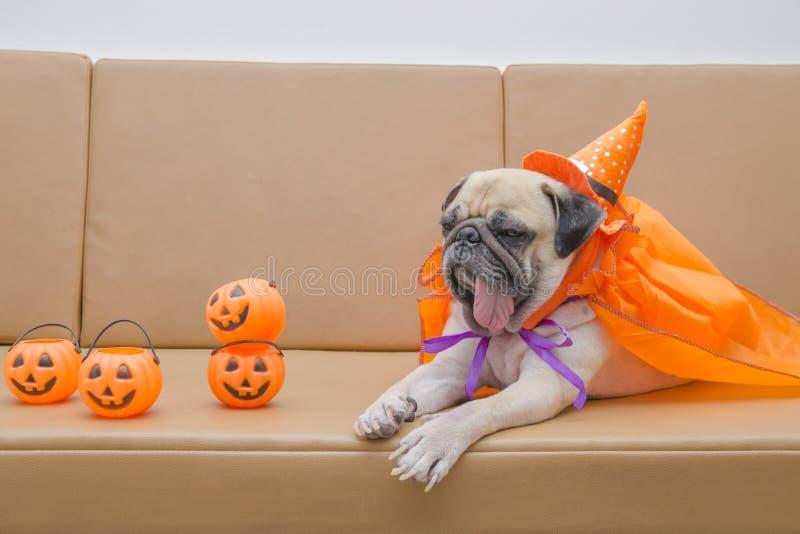 Cute pug dog with costume of happy halloween day sleep rest on s. Ofa with plastic pumpkin Jack O'Lantern royalty free stock photo