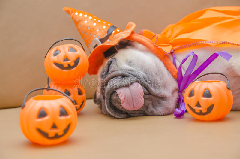 Cute pug dog with costume of happy halloween day sleep rest on s. Ofa with plastic pumpkin Jack O& x27;Lantern stock photo