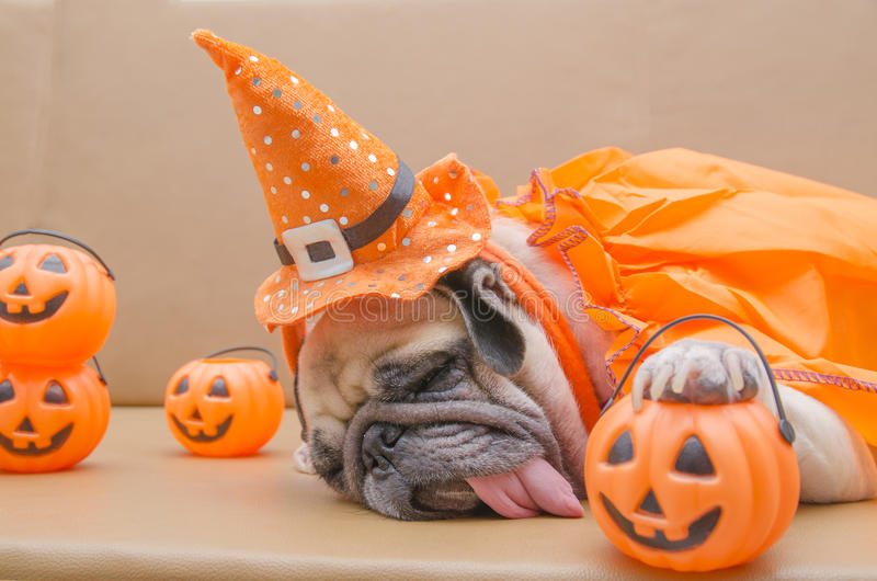 Cute pug dog with costume of happy halloween day sleep rest on sofa. With plastic pumpkin Jack O& x27;Lantern stock photography