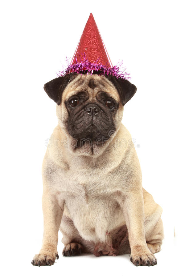 Cute Pug dog with hat on white background. Cute Pug dog with birthday hat isolated on white background stock images