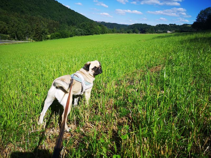 Cute pug dog on a leash in green grass field looking towards the camera stock images