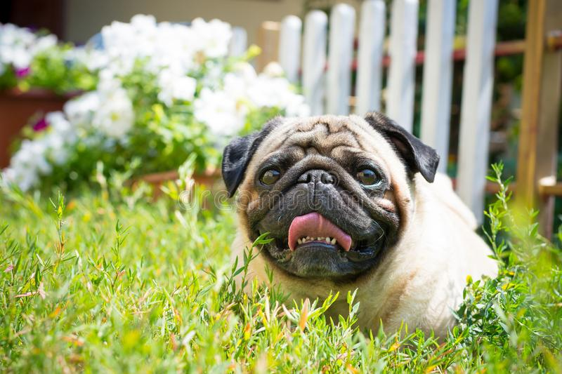 A cute pug dog lies in the garden on the grass. royalty free stock photo
