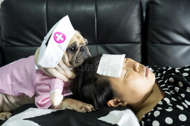 Cute pug dog with nurse costume takes care of the owner, who is sleeping sick with a cold compress on the forehead. Love and royalty free stock images