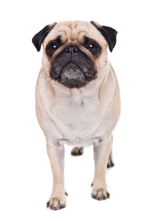 A cute Pug dog royalty free stock photos