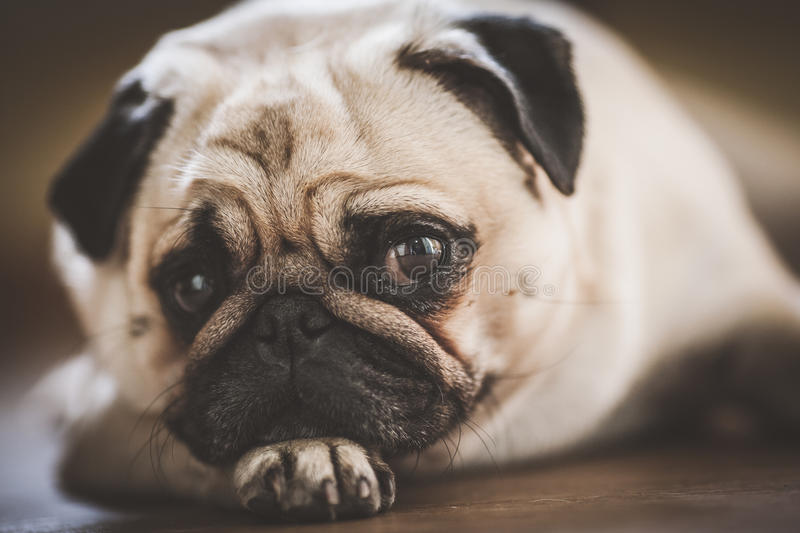 A cute Pug dog. With a sad, flat face royalty free stock photos