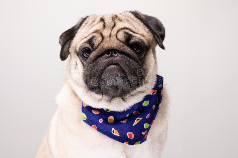 Cute pug dog with Scarf so handsome. And healthy purebred dog on gray background,Adorable Dog Concept stock image