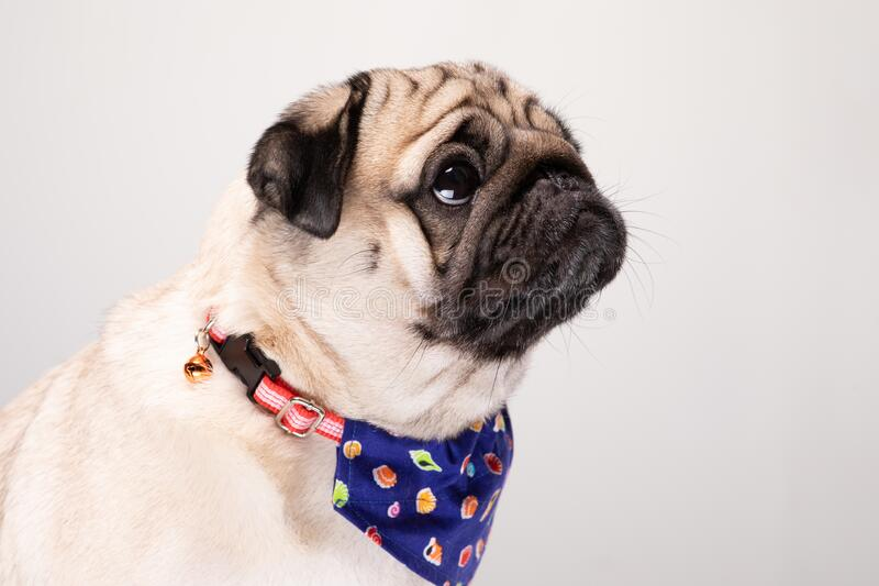 Cute pug dog with Scarf so handsome. And healthy purebred dog on gray background,Adorable Dog Concept royalty free stock photography