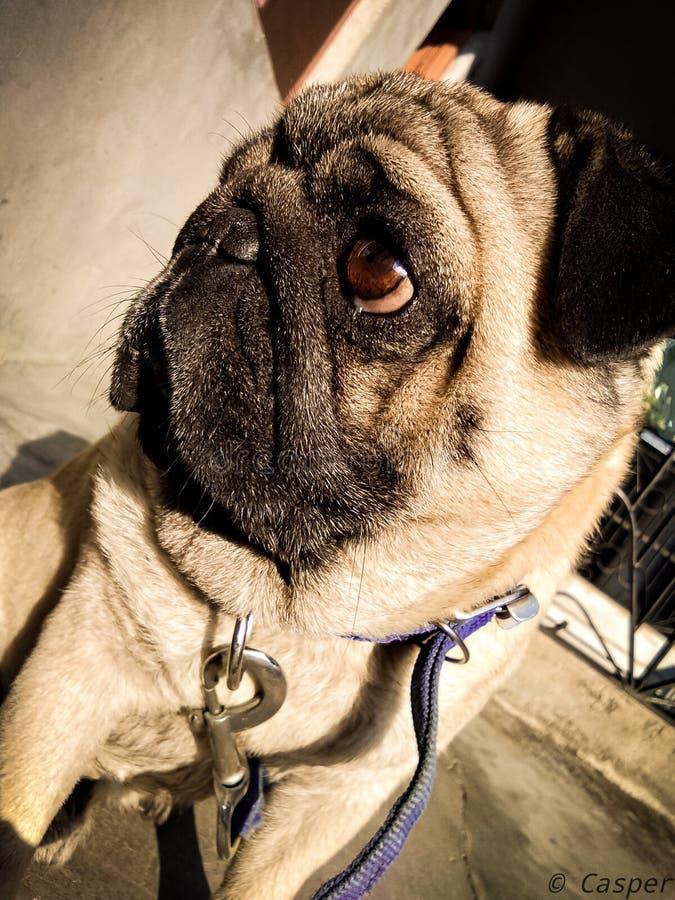 A Cute Pug Dog Side Shot stock photography
