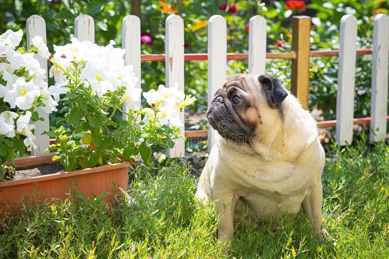 A cute pug dog sits in the garden on the grass royalty free stock images