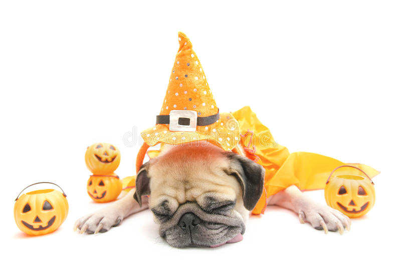 Cute pug dog sleep rest with Happy Halloween day costume. And pumpkin royalty free stock images