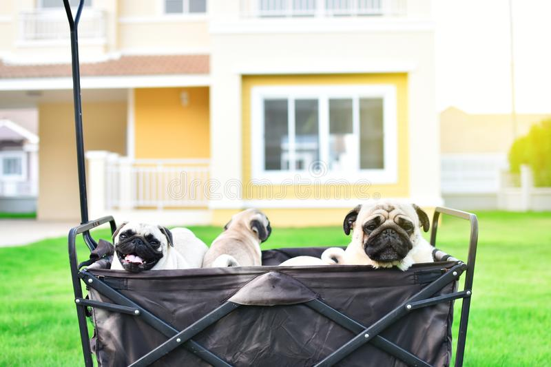 Cute Pug family in truck royalty free stock photos