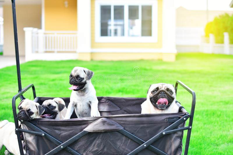 Cute Pug family in truck. Cute Pug family playing together in truck royalty free stock photography
