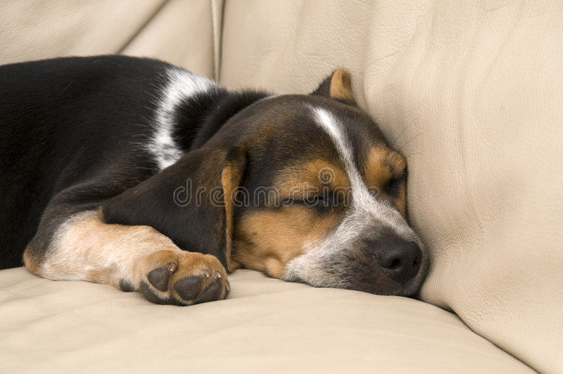 Download Cute Pug Laying Down stock image. Image of animal, ears - 8862409
