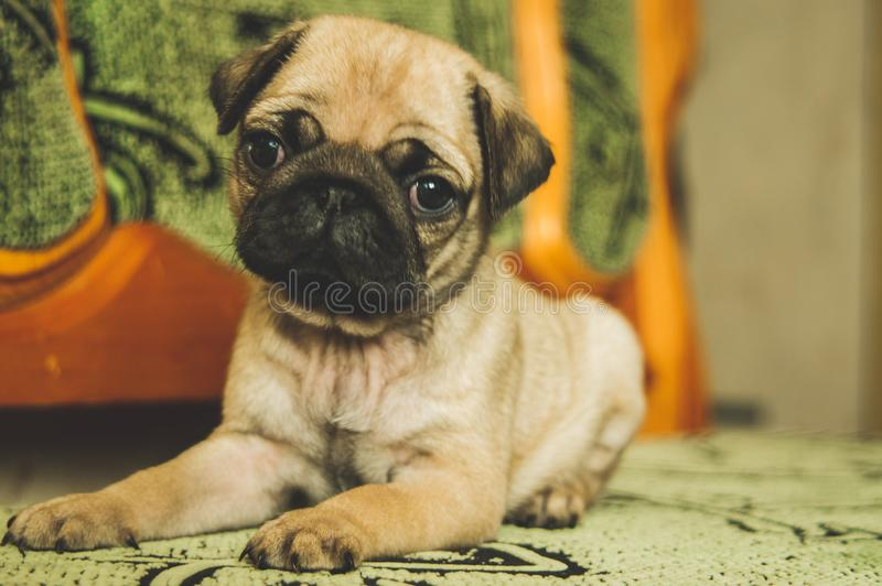 Cute pug puppy stock images