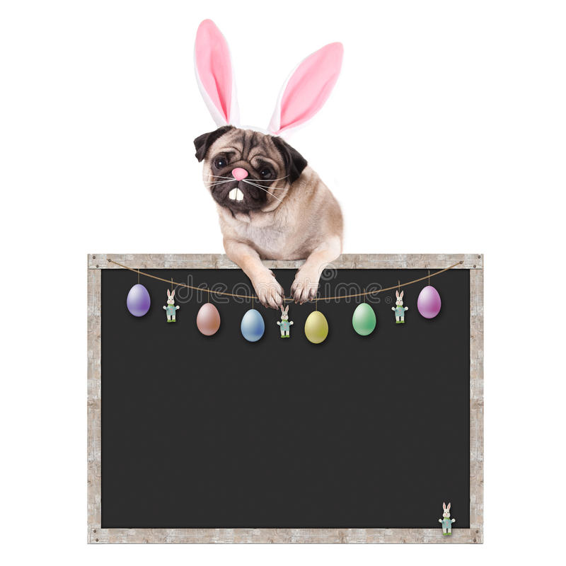 Cute pug puppy dog with bunny ears diadem hanging with paws on blank blackboard sign, with easter decoration, on white background stock image