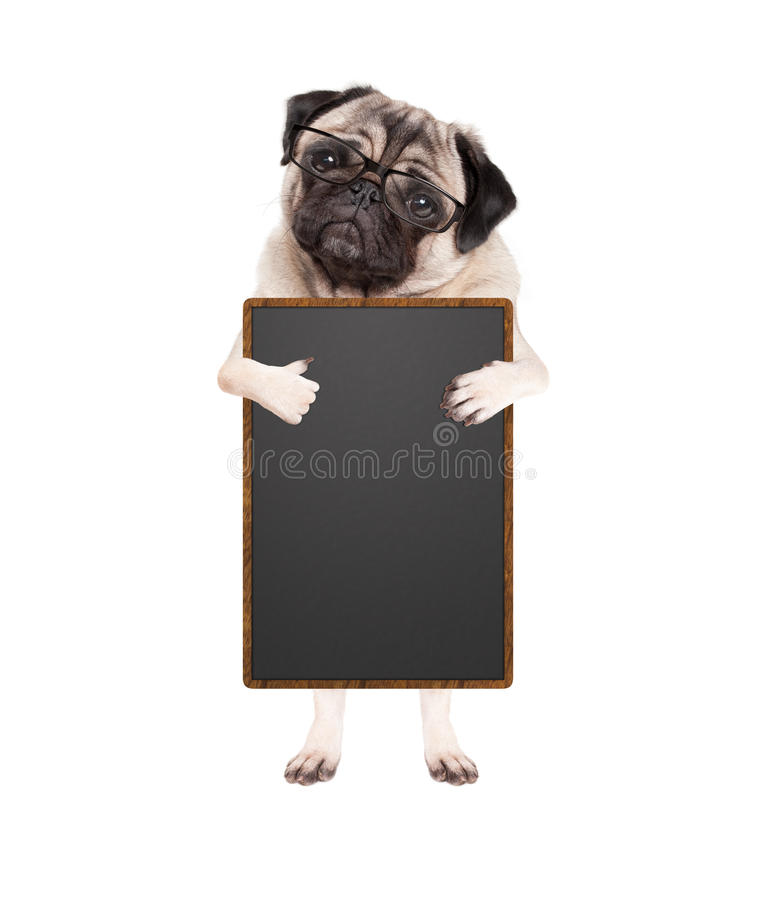 Cute pug puppy dog with glasses, standing up holding blank blackboard sign and giving a like with thumb, isolated on white royalty free stock image