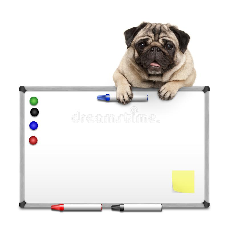 Cute pug puppy dog hanging with paws on blank marke white board with markers and magnets. Isolated on white background royalty free stock image